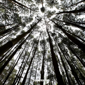 Bantul ~ Kebun Buah Mangunan , Hutan Pinus Dlingo , Puncak Becici | SUKAPIGI.COM